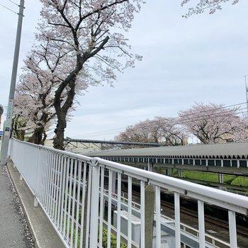 桜を見ながら駅まで。