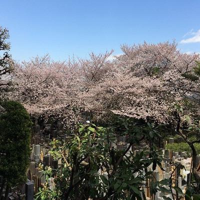 お墓ビューですがは春には桜が咲き誇ります!※前回募集時の写真です