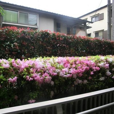 つつじの花が綺麗です。