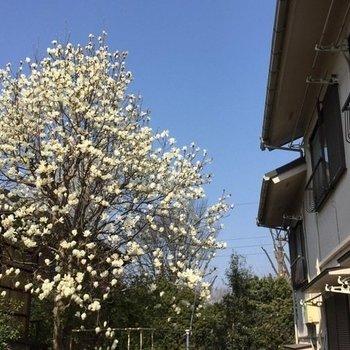 春には庭の木蓮が花を咲かせます
