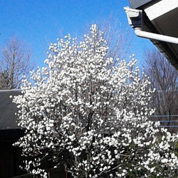 なんとモクレンも。桜の季節に綺麗に咲きます