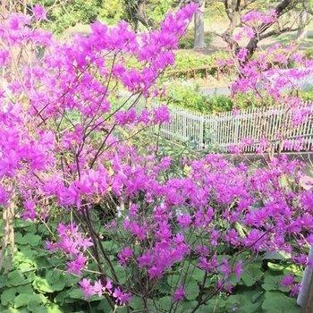 春にはツツジの花が鮮やかです