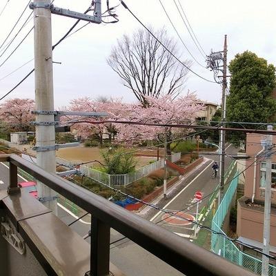 桜並木が見えるのです