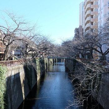 目黒川の桜が楽しみじゃー