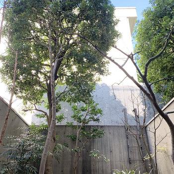 【B1 専用庭】大きな木です。
