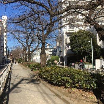 春になると目の前の道に桜が咲き誇ります!!!