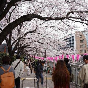道中の目黒川です♪桜!!