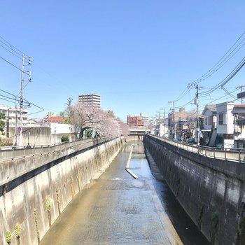 近くには川が流れています。あ、桜。