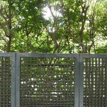 緑のカーテンで木漏れ日を横から