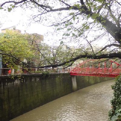 家の前の目黒川、、あいにく雨で濁ってます