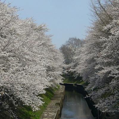 近くの川はこんな豪勢な桜並木!