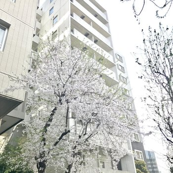 マンションの前には桜が!