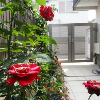 階段下にも薔薇♪♪※写真は前回募集時のものです。