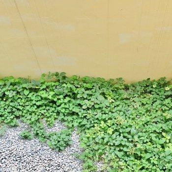 メルヘンな草