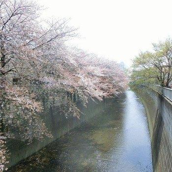 4月には川沿いは満開の桜が!