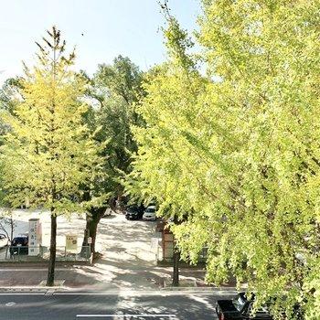 すっかり秋の景色。イチョウ並木が癒やしです。