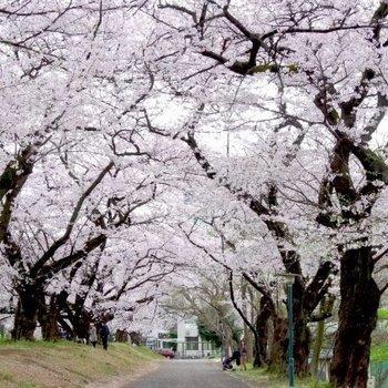 東大の桜並木はすぐそこに。