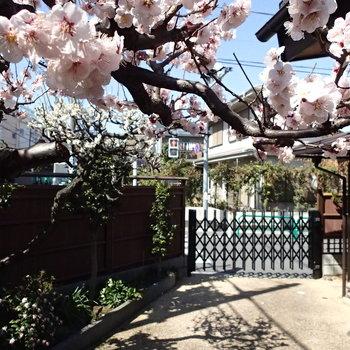 ちょうど早咲きの桜が咲いました。早めに内覧すれば間に合いそう。