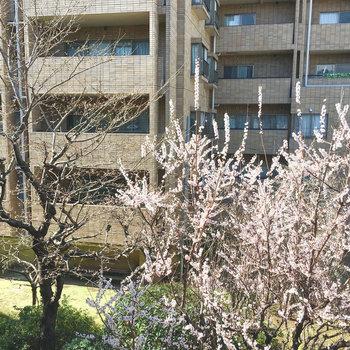 眺望は桜!早咲きと遅咲きと2本あります〜