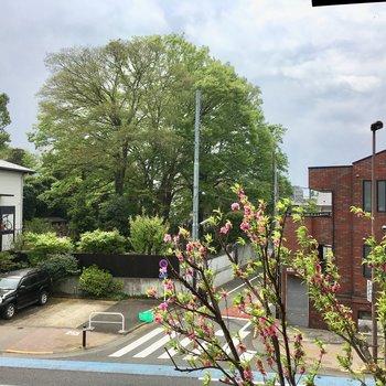 ピンク色のお花を付けた木や、西福寺の大きな木(よく見るとお墓)が見えます。