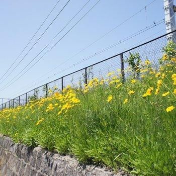 線路沿いがお花畑