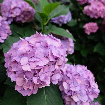 玄関前のあじさい。見事な咲きっぷり!