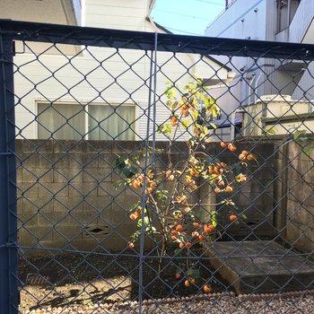 左を覗くと柿の木が!