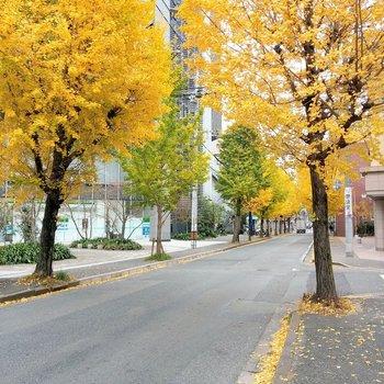 黄色の銀杏並木が綺麗。お散歩したくなるんです。