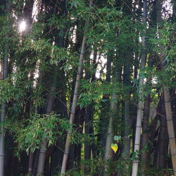 風になびく竹林
