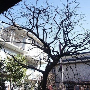柿の木が植えられています。