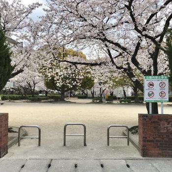 すぐ目の前には桜ヶ丘公園!満開だぁ〜。