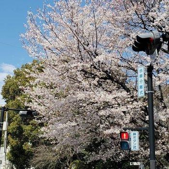 春は毎日桜を見て通勤できますよ~