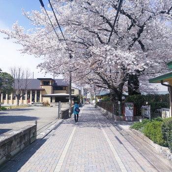 【おまけ】近所の自由学園明日館には立派な桜が!キレイに満開でした。