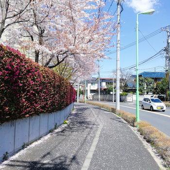 【おまけ】駅までの道は桜街道に。お部屋とマッチしてて楽しい。