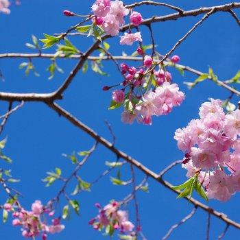 しだれ桜とチェリーの香り