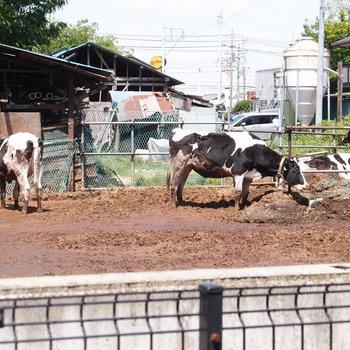 なんと近くには牛小屋があった。離れているので、匂いは大丈夫です。