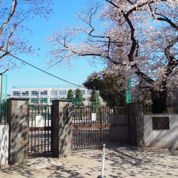目の前の中学校の桜で春を感じます