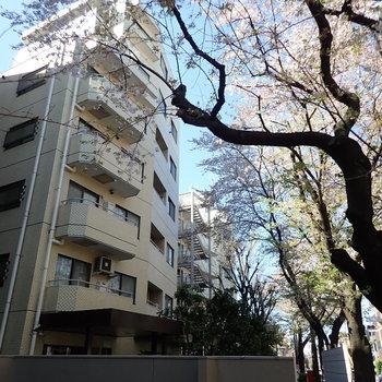 お部屋の前の通りには桜並木!
