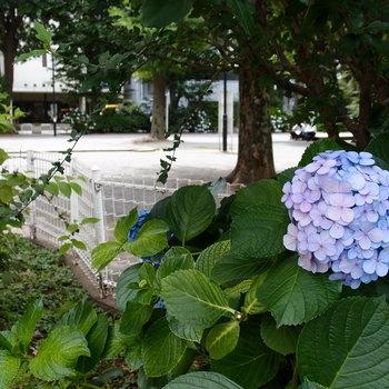 そっか、アジサイの季節か。 東池袋公園
