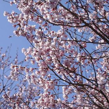 季節柄、梅の花が咲いていました。