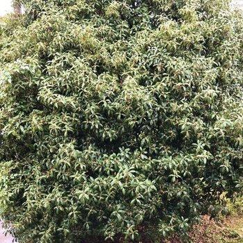 すぐ側にとっても大きい金木犀の木が。ん〜芳しい。