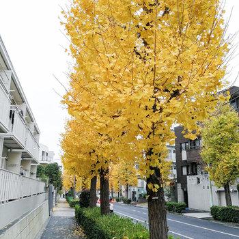 お部屋すぐの大通りにはイチョウが。綺麗だな〜。