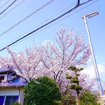 お部屋の前の寺院には鮮やかな桜が咲いていました。