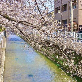 少し歩いたところの川沿いにも桜並木が。散歩が楽しめそうです。