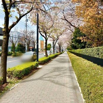 さすが〈桜街道〉。桜の並木道は壮観な眺めでした。