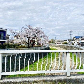 近くの小川。奥に桜が見えますね。