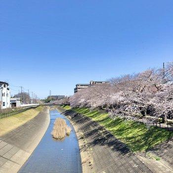 春には桜並木を散歩したいものです。