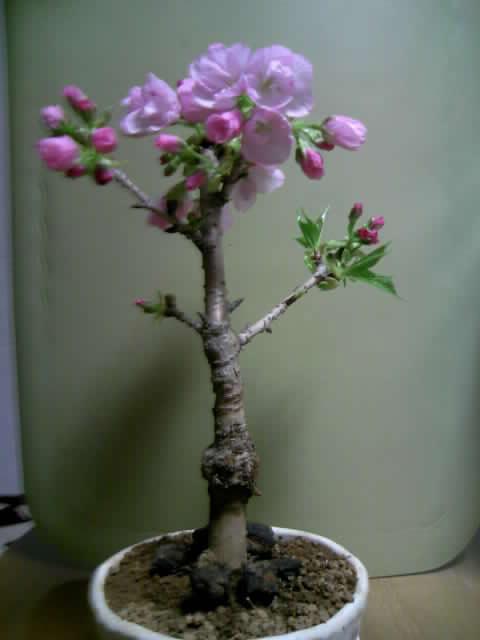 ホッとひと息!桜の盆栽