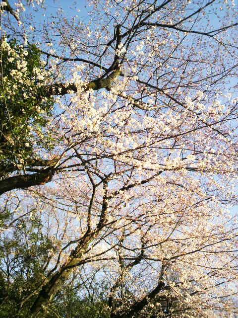 東京・目白 「おとめ山通りの桜」