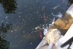 「池の鯉」 老人ホームのヒーリングガーデン